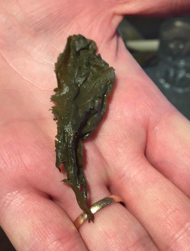 A single Xuefeng Ti Kuan Yin tea leaf after steeping